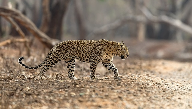 Wildlife biologist and conservationist Sanjay Gubbi on why there's little understanding about leopards in India