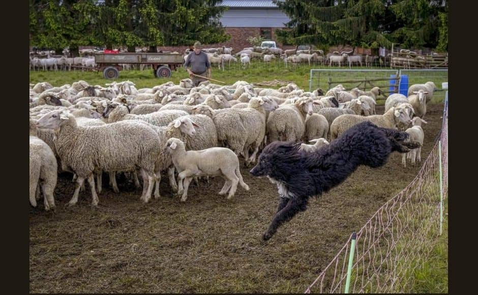 The most experienced cutters can shear a sheep in two minutes. The job is not as easy as they make it look: the shearers must wield their tools while keeping under control a wriggling animal weighing up to 100 kilos (220 pounds) and not necessarily eager to lose its winter padding. | In the picture: A sheepdog jumps over a fence to round up sheep before they are taken to shearing in Usingen. Photo via The Associated Press/Michael Probst
