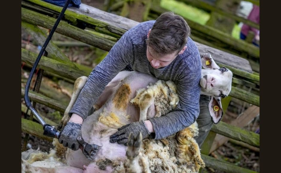 Arnd Ritter, an adviser on sheep farming to the regional government's agriculture service, told news agency dpa that one issue is that potential customers want large quantities of wool of the same quality. | In the picture: A sheep shearer works on a sheep in Usingen. Photo via The Associated Press/Michael Probst
