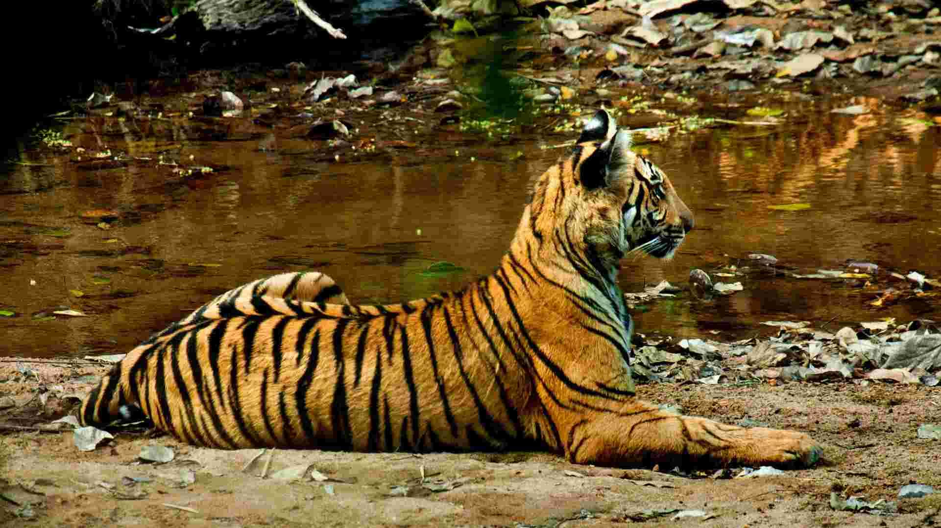 Tiger deaths in 2018 lower than previous years, but habitat loss, poaching still pose threat
