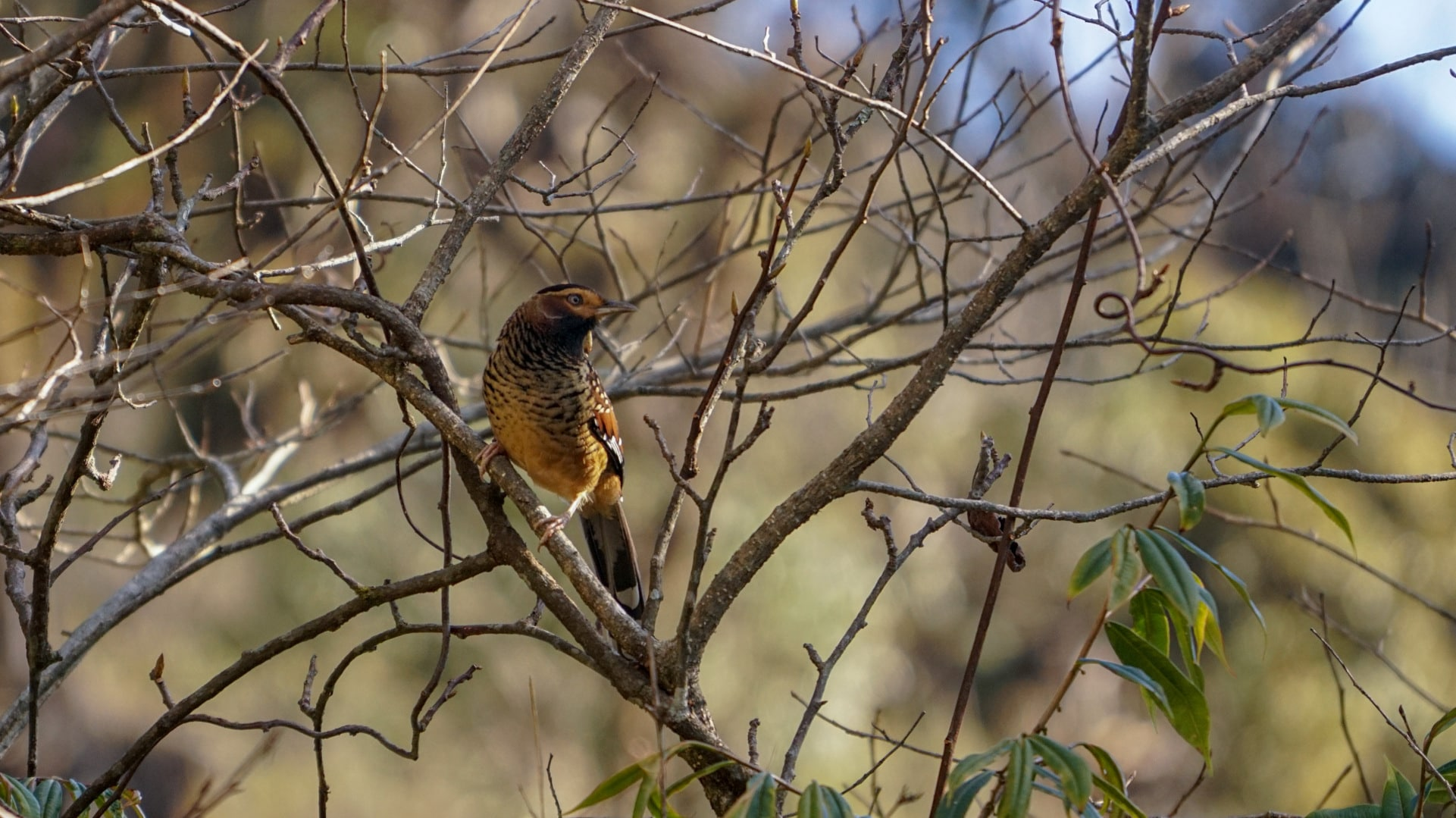 Pic 2 - spotted laughingthrush 1921