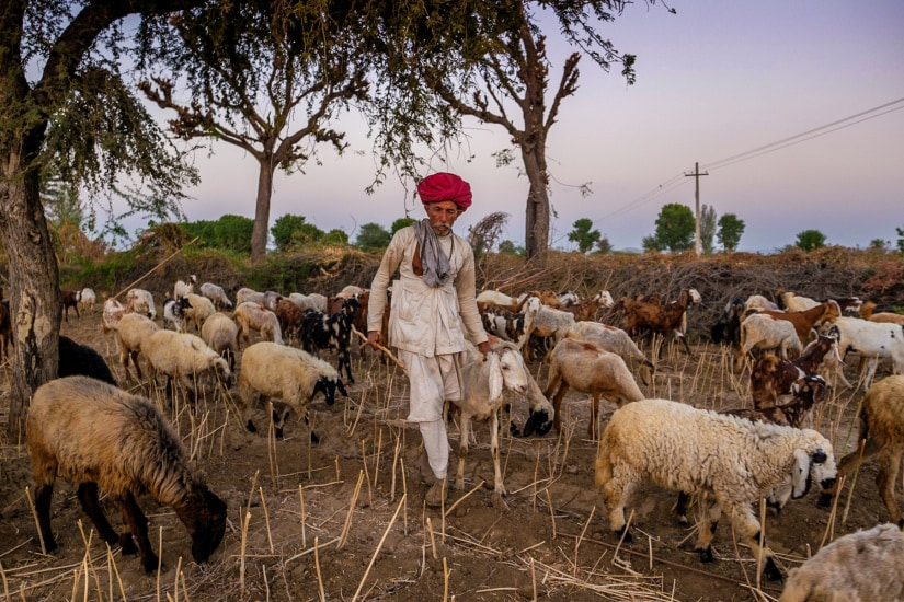 A Rabari with his flock