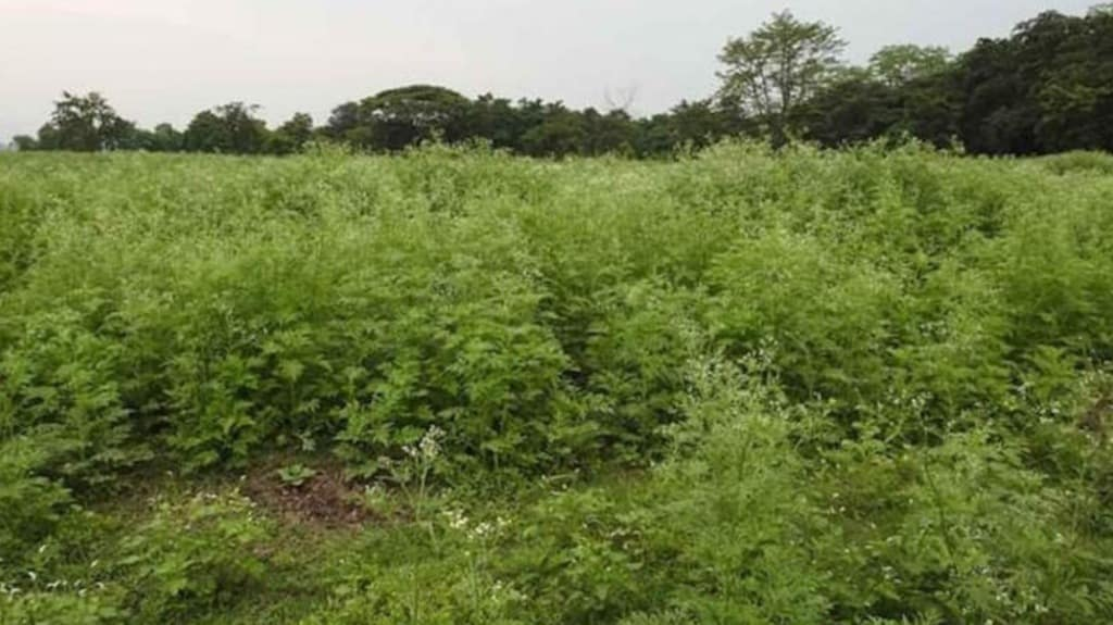 Parthenium can be seen growing vigorously in the grassland areas inside Pobitora National Park. Conservationists are worried the invasive weed will crowd out native fodder plants. Photo courtesy of Bibhab Talukdar.