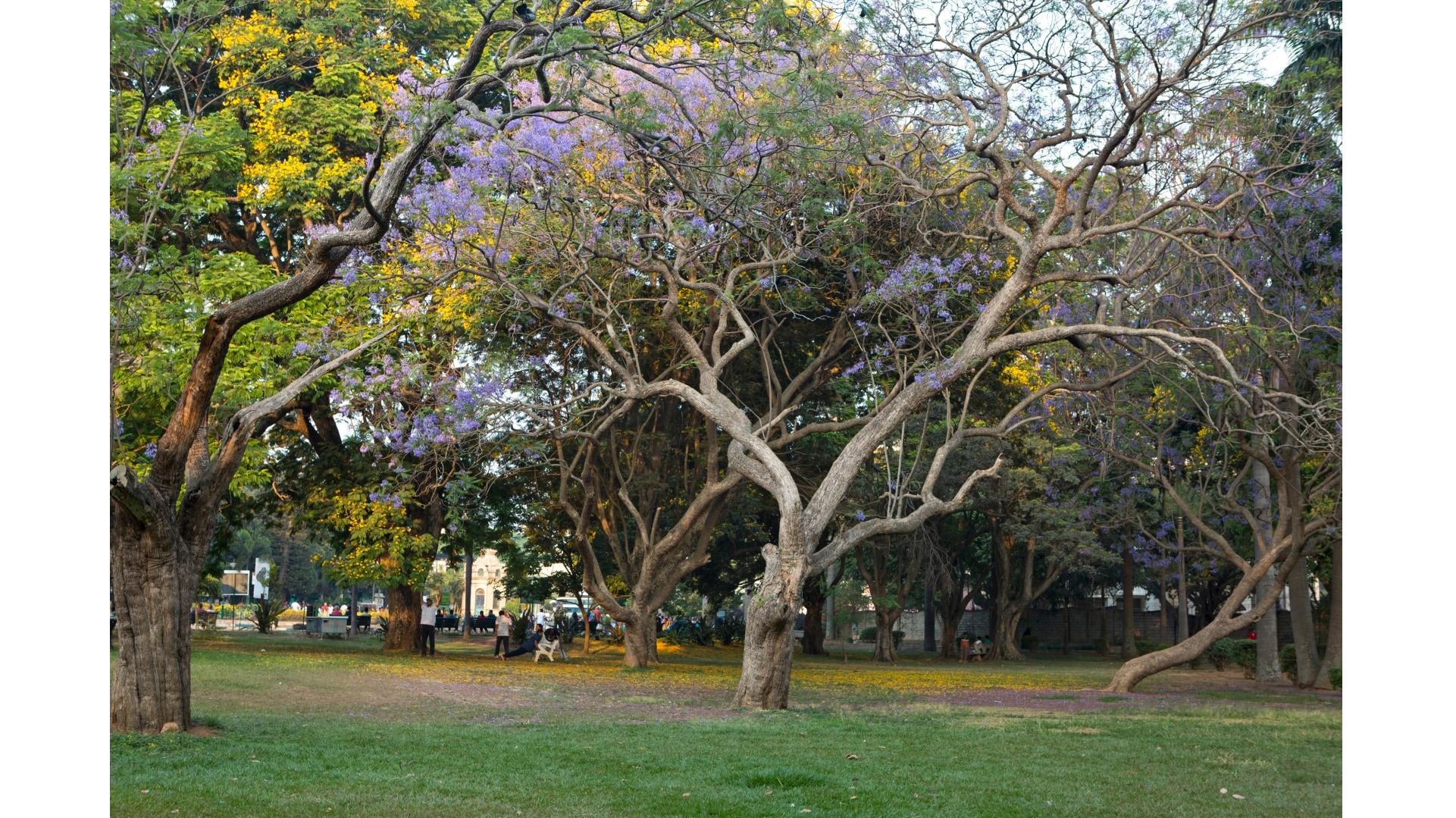 bengaluru-trees-1