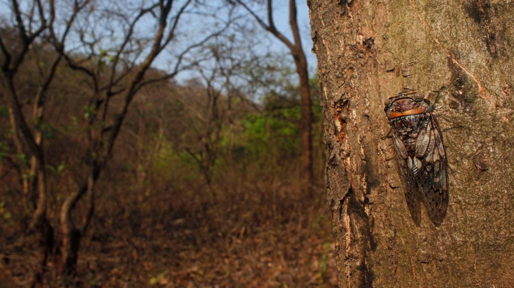 A cicada (Platypleura sp.), known for its loud chorus calls, blends in its habitat. Photo by Rajesh Sanap.