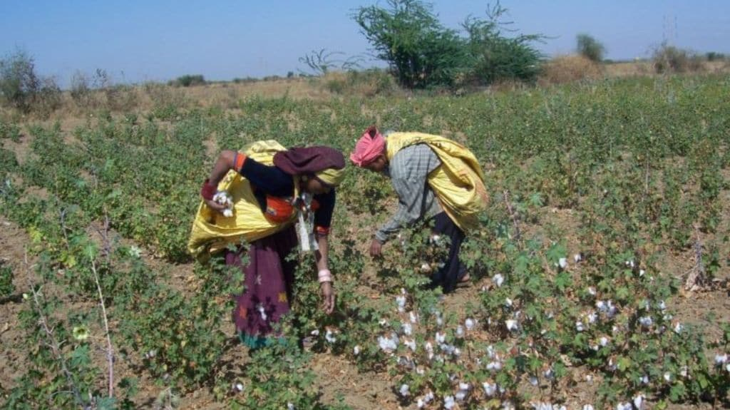 Hand picking of Wagad cotton in the farm. Photo courtesy Khamir.