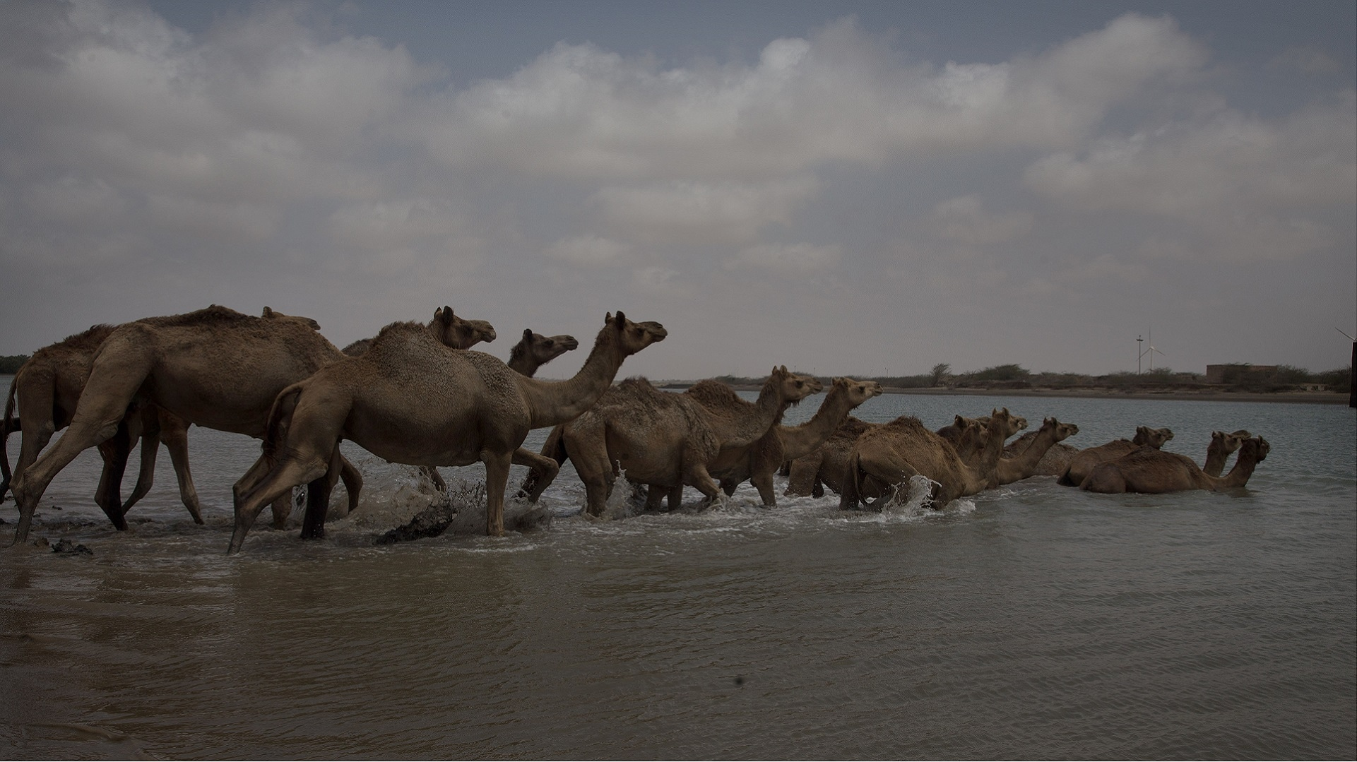 Kutch's Kharai breed, the world's only swimming camels, battle the tide of an uncertain future