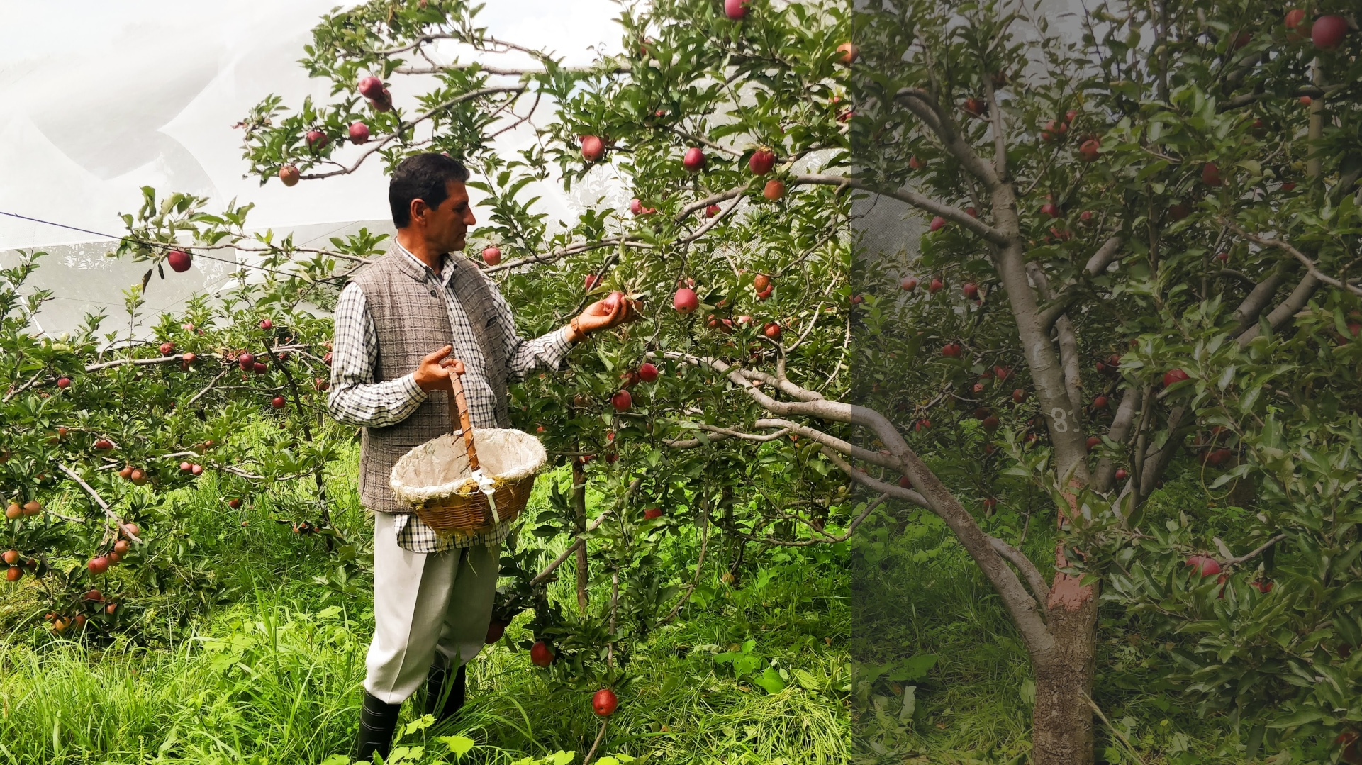 An orchard in the hills: At Himachal's Thanedhar Estate, lessons in apple picking and history