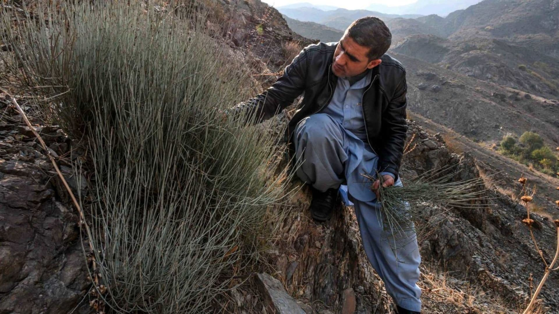 In Afghanistan, the wild ephedra shrub breathes new life into country's meth epidemic