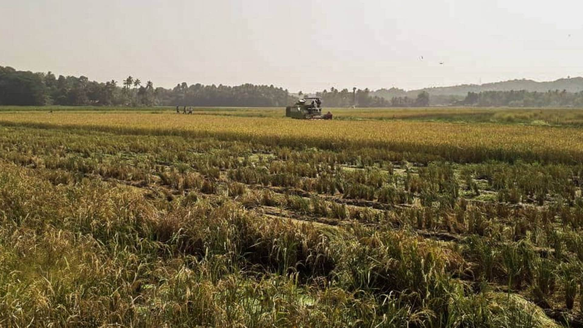 What do we lose when we lose a grain of rice?   Story of Goa's Korgut rice, grown in its Khazans, is story of the state