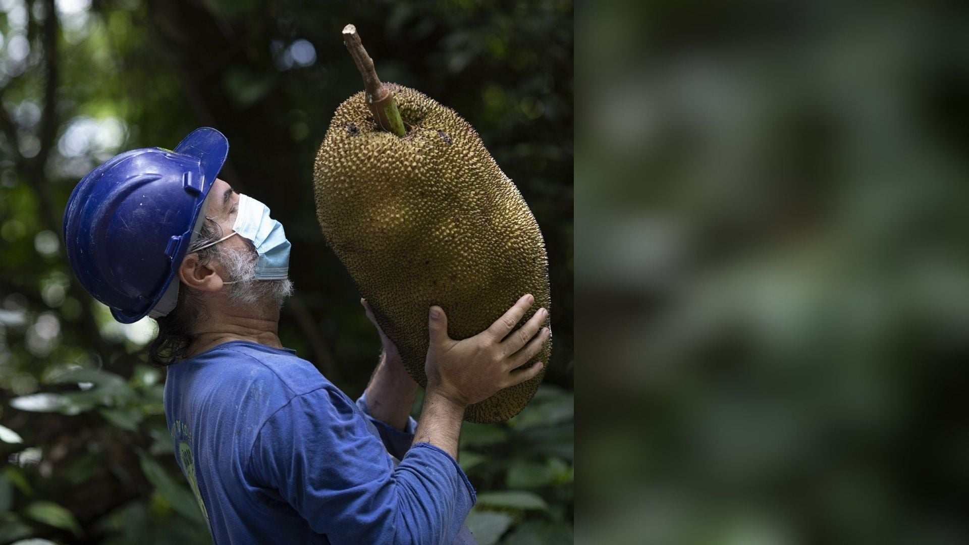 In Brazil, world's largest tree-borne fruit is either danger or delight: Journey of the jackfruit in southern hemisphere