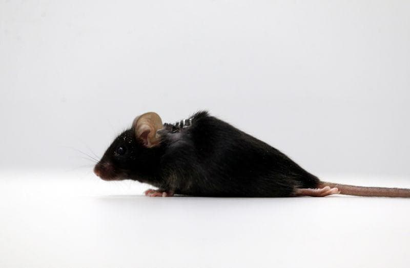 German scientists make paralyzed mice walk again