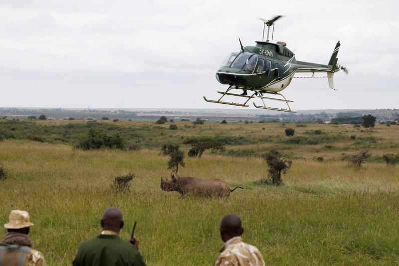 Only rhino to survive Kenyan relocation is attacked by lions