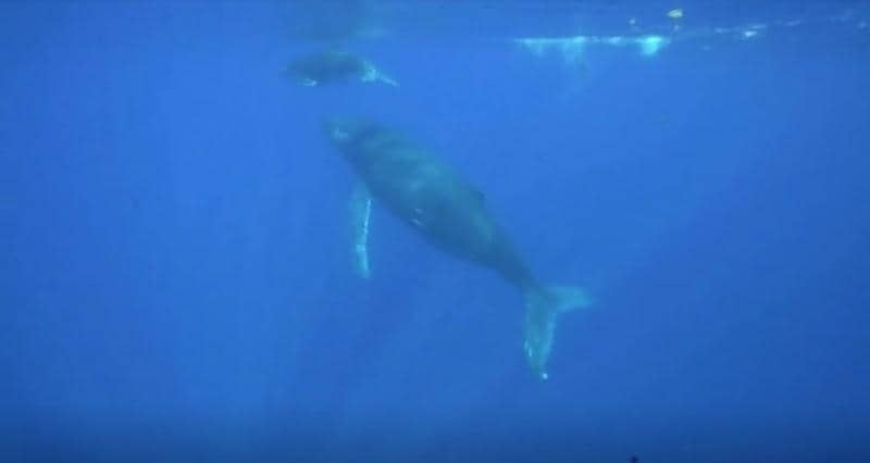 Testy humpback whale chases away watchers who get too close