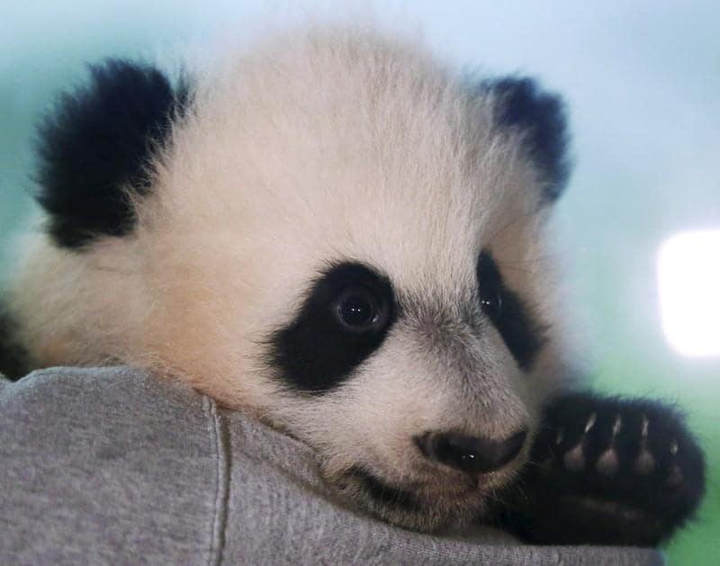 Bye Bye, Bei Bei: National Zoo panda leaves for China next month