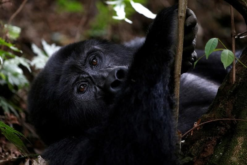 Mountain gorillas off 'critically endangered' list in rare recovery