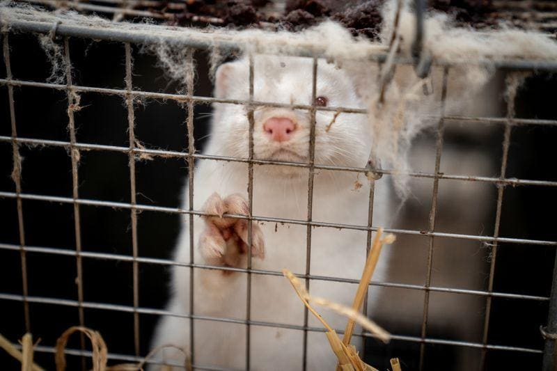 Danish agriculture minister steps down over illegal mink order